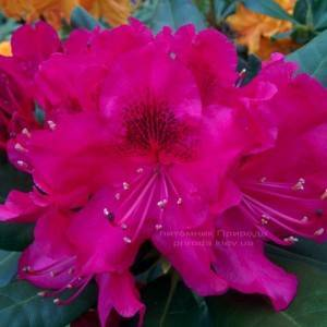 Рододендрон крупноцветковый Нова Зембла (Rododendron Nova Zembla) ФОТО Питомник растений Природа Priroda