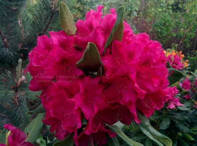 Рододендрон крупноцветковый Нова Зембла (Rododendron Nova Zembla) ФОТО Питомник растений Природа Priroda (74)