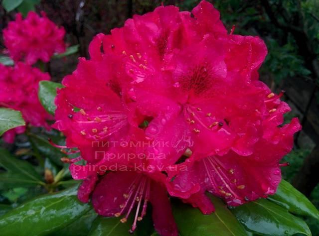 Рододендрон крупноцветковый Нова Зембла (Rododendron Nova Zembla) ФОТО Питомник растений Природа Priroda (75)