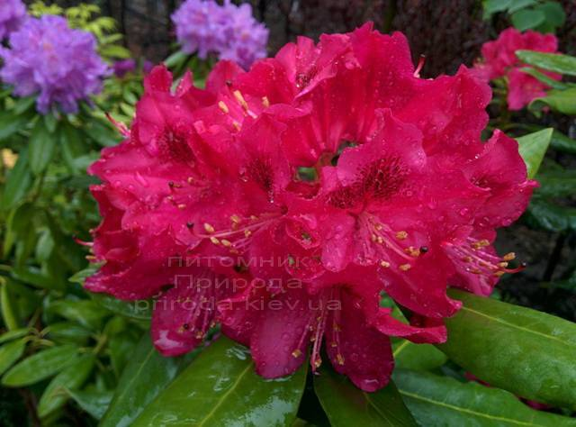 Рододендрон крупноцветковый Нова Зембла (Rododendron Nova Zembla) ФОТО Питомник растений Природа Priroda (76)