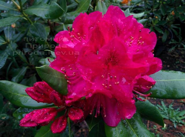 Рододендрон крупноцветковый Нова Зембла (Rododendron Nova Zembla) ФОТО Питомник растений Природа Priroda (77)