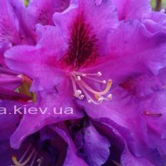 Рододендрон крупноцветковый Распутин (Rododendron Rasputin) ФОТО Питомник растений Природа Priroda (100)