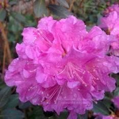 Рододендрон мелкоцветковый Rododendron P.J.M. Elite ФОТО Питомник растений Природа Priroda