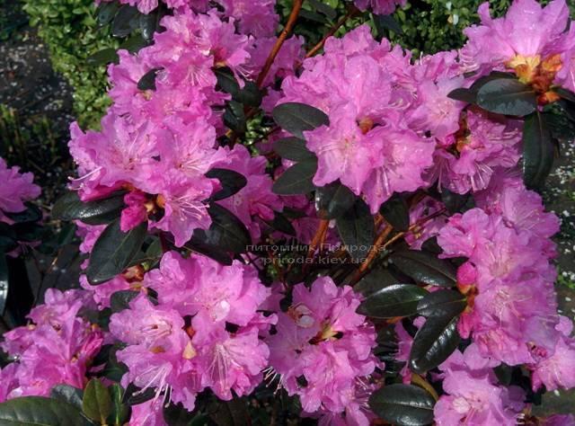 Рододендрон мелкоцветковый PJM Elite (Rhododendron PJM Elite) ФОТО Питомник растений Природа Priroda
