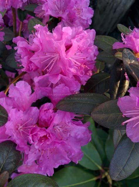 Рододендрон мелкоцветковый Rododendron P.J.M. Regal ФОТО Питомник растений Природа Priroda (79)