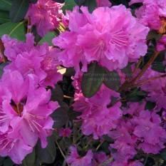 Рододендрон мелкоцветковый Rododendron P.J.M. Regal ФОТО Питомник растений Природа Priroda (80)