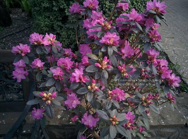 Рододендрон мелкоцветковый Rododendron P.J.M. Regal ФОТО Питомник растений Природа Priroda (83)