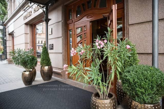 Самшит вечнозелёный шар, конус. Гостиница Premier Palace Hotel, г.Киев