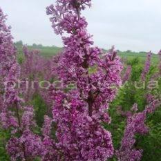 Сирень китайская (Syringa x chinensis) ФОТО Питомник растений Природа Priroda