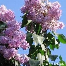 Сирень обыкновенная Маршал Фош (Syringa vulgaris Marchal Foch) ФОТО Питомник растений Природа Priroda