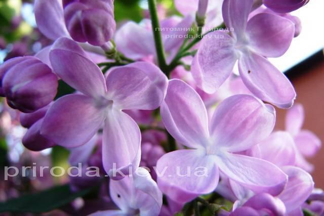 Сирень Маршал Фош (Syringa vulgaris Marchal Foch) ФОТО Питомник растений Природа Priroda (17)