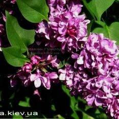 Сирень обыкновенная Огни Донбасса (Syringa vulgaris Ogni Donbassa) ФОТО Питомник растений Природа Priroda