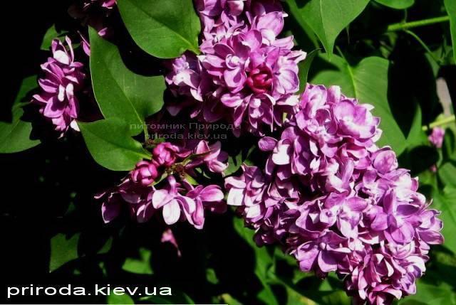 Сирень обыкновенная Огни Донбасса (Syringa vulgaris Ogni Donbassa) ФОТО Питомник растений Природа Priroda (22)