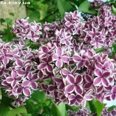 Сирень обыкновенная Сенсация (Syringa vulgaris Sensation) ФОТО Питомник растений Природа Priroda