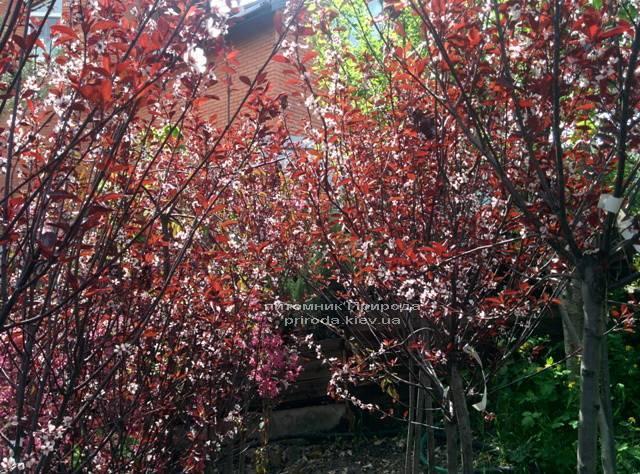 Слива цистена на штамбе (Prunus cistena) ФОТО Питомник растений Природа Priroda
