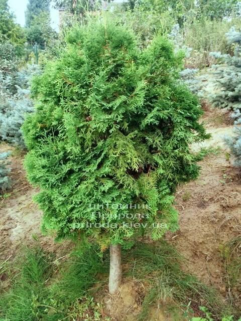 Туя на штамбе ФОТО Питомник растений Природа Priroda (5)