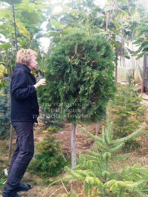 Туя на штамбе ФОТО Питомник растений Природа Priroda (7)