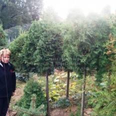 Туя на штамбе ФОТО Питомник растений Природа Priroda (8)
