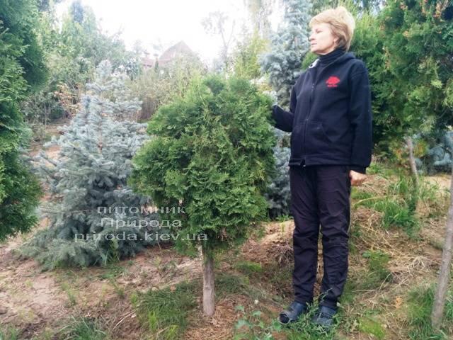 Туя на штамбе ФОТО Питомник растений Природа Priroda (9)