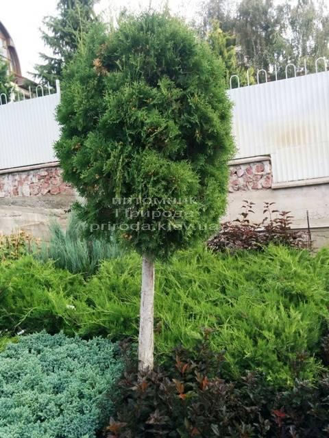 Туя на штамбе ФОТО Питомник растений Природа Priroda (15)