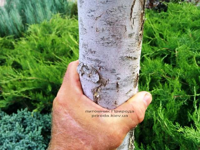 Туя на штамбе ФОТО Питомник растений Природа Priroda (16)