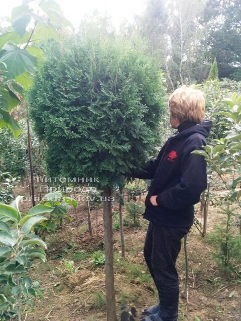 Туя на штамбе ФОТО Питомник растений Природа Priroda (19)