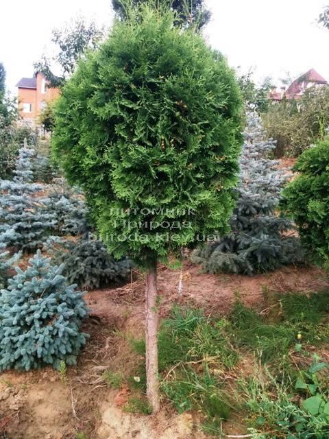 Туя на штамбе ФОТО Питомник растений Природа Priroda (10)