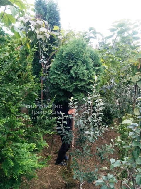 Туя на штамбе ФОТО Питомник растений Природа Priroda (11)