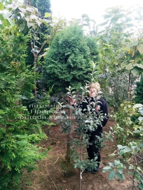 Туя на штамбе ФОТО Питомник растений Природа Priroda (12)