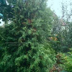 Туя западная Брабант (Thuja occidentalis Brabant) 320см ФОТО Питомник растений Природа Priroda