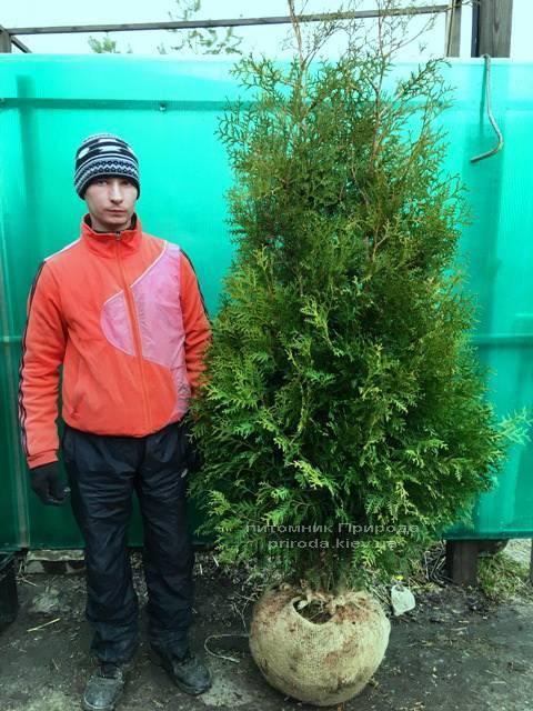 Туя западная Брабант (Thuja occidentalis Brabant) ФОТО Питомник растений Природа Priroda (15)