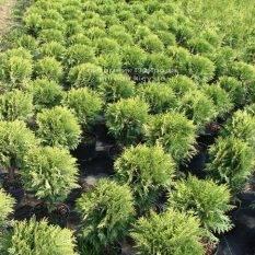 Туя западная Даника (Thuja occidentalis Danica) ФОТО Питомник растений Природа Priroda (22)