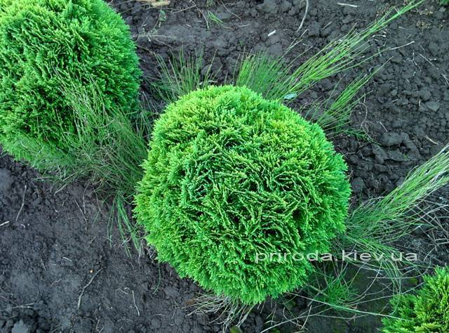 Туя западная Даника (Thuja occidentalis Danica) ФОТО Питомник растений Природа Priroda (24)