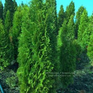 Туя западная колоновидная Колумна (Thuja occidentalis Columna) ФОТО Питомник растений Природа Priroda (38)