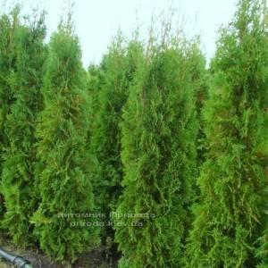 Туя западная колоновидная Колумна (Thuja occidentalis Columna) ФОТО Питомник растений Природа Priroda (40)