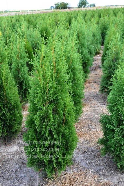 Туя западная колоновидная Колумна (Thuja occidentalis Columna) ФОТО Питомник растений Природа Priroda (48)