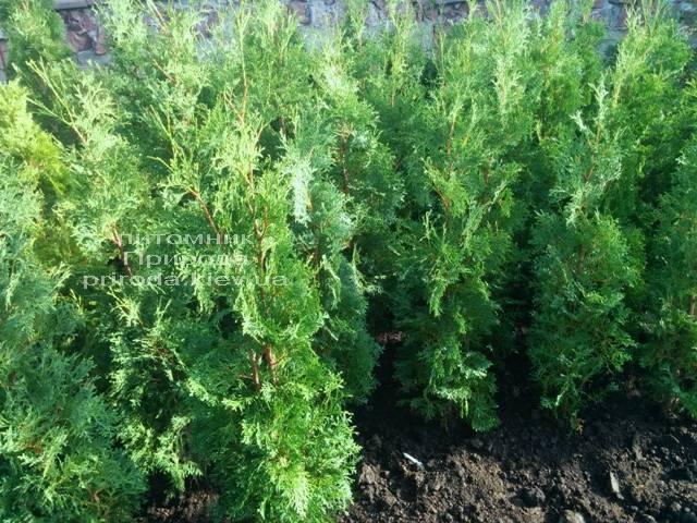 Туя западная колоновидная Колумна (Thuja occidentalis Columna) ФОТО Питомник растений Природа Priroda (52)