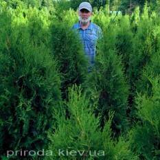 Туя западная колоновидная Колумна (Thuja occidentalis Columna) ФОТО Питомник растений Природа Priroda (53)