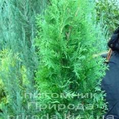 Туя западная колоновидная Колумна (Thuja occidentalis Columna) ФОТО Питомник растений Природа Priroda (41)
