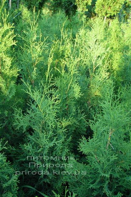 Туя западная колоновидная Колумна (Thuja occidentalis Columna) ФОТО Питомник растений Природа Priroda