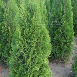 Туя западная Смарагд (Thuja occidentalis Smaragd) ФОТО Питомник растений Природа Priroda (47)
