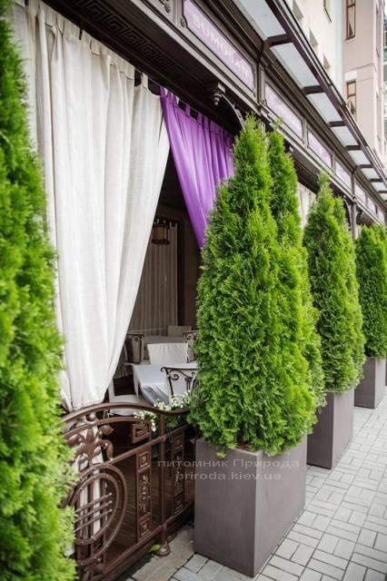 Туя западная Смарагд. Гостиница Premier Palace Hotel, г.Киев