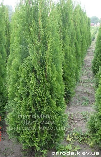 Туя западная Смарагд (Thuja occidentalis Smaragd) ФОТО Питомник растений Природа Priroda (57)