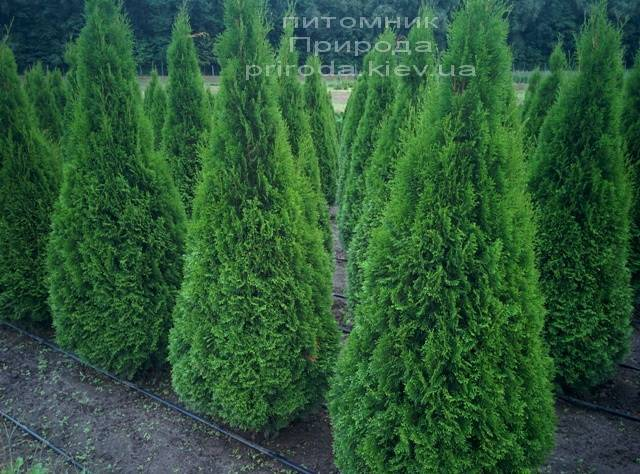Туя западная Смарагд (Thuja occidentalis Smaragd) ФОТО Питомник растений Природа Priroda