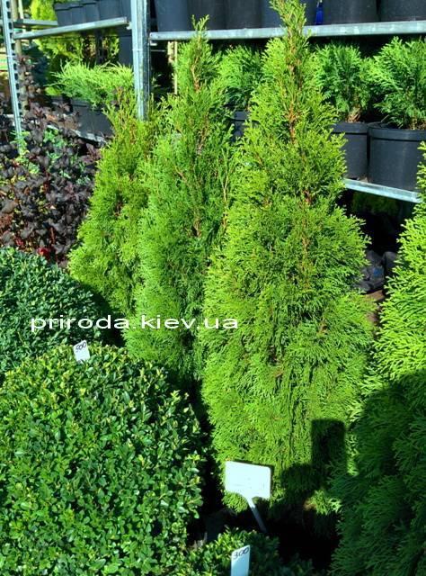 Туя западная Смарагд (Thuja occidentalis Smaragd) ФОТО Питомник растений Природа Priroda (48)