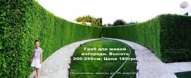 Живая изгородь из Граба обыкновенного (5)