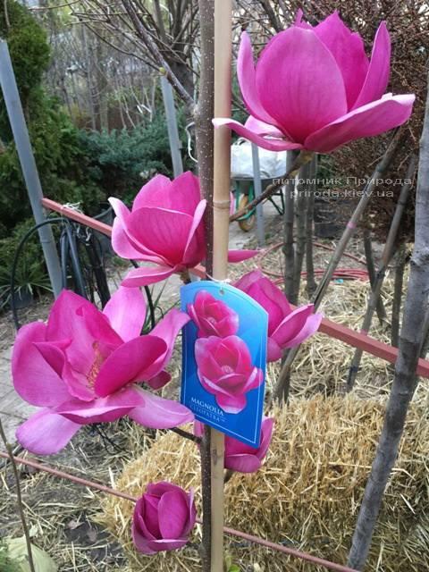 Магнолия Клеопатра (Magnolia Cleopatra Tulip) ФОТО Питомник растений Природа Priroda (83)