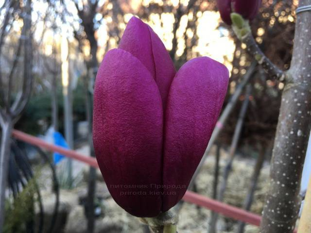Магнолия Клеопатра (Magnolia Cleopatra Tulip) ФОТО Питомник растений Природа Priroda (86)