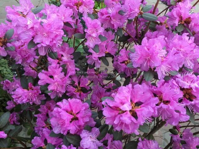 Рододендрон мелкоцветковый Rododendron P.J.M. Regal ФОТО Питомник растений Природа Priroda