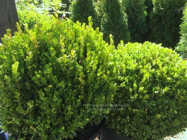 Самшит мелколистный Фолкнер Шар (Buxus microphilla Faulkner Boll) ФОТО Питомник растений Природа Priroda (1)